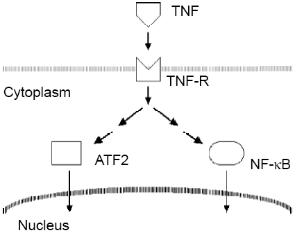 Simple description of TNF signaling pathways for this                  tutorial on high-content screening data analysis and                  visualization.